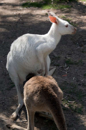 the brown joey is drinking from his albino western kangaroo mothers pouch 写真素材