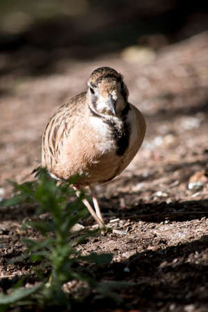 the inland dotterel is searching for food