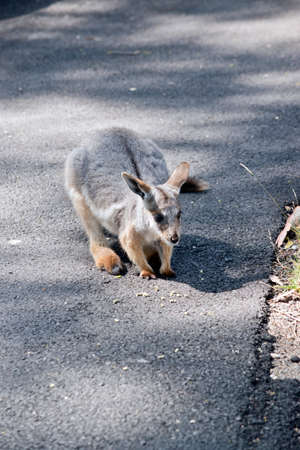 the Yellow footed rock wallaby joey is a grey, white and tan wallaby with a long tail Stock Photo