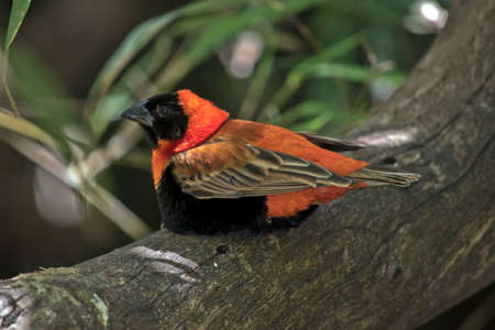 the southern red bishop is perched on a log