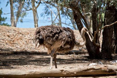 the ostrich is walking in a field