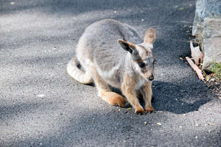 the Yellow footed rock wallaby joey is a grey, white and tan wallaby with a long tail Foto de archivo
