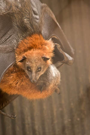 the young fruit bat is bring cleaned by its mother