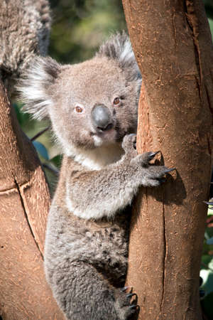 the young koala was rescued after the fires on Kangaroo Island