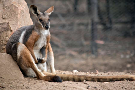the yellow footed rock wallaby is a grey, white and brown wallaby