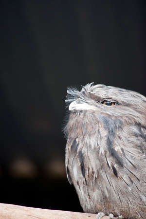 the Tawny frogmouth is not an owl but in the night jar family
