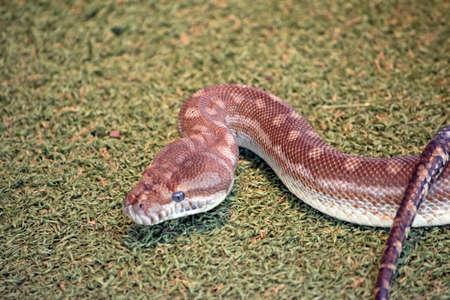 the children's python has blue eyes