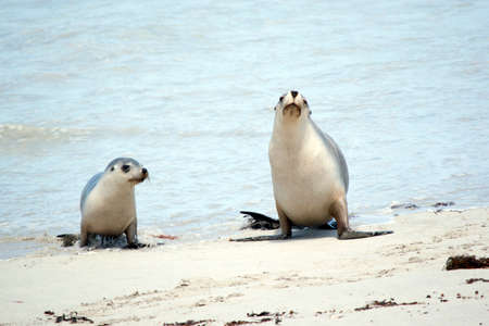 the sea lion pup and her mum are walking up the beach
