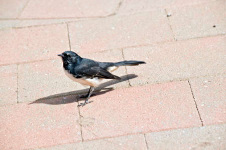 the willy wagtail is a small black and white bird