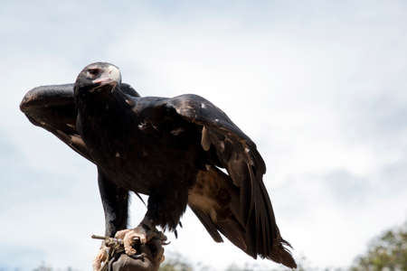the wedge tailed eagle is balancing on a hand