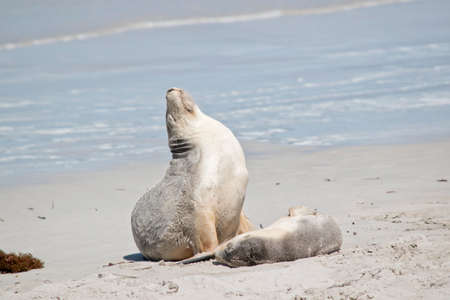 the female sea lion and her pup are resting at seal bay Stock fotó