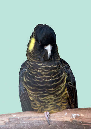 the female red tailed black tailed cockatoo is black and yellow