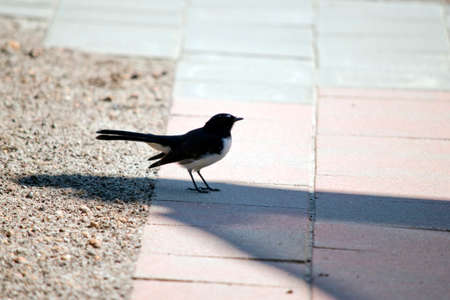 the willie wagtail is a small black and white bird
