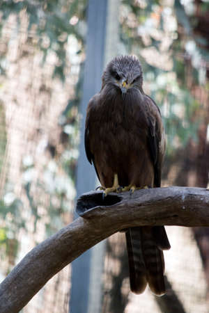 the black kite is a brown raptor living in Australia