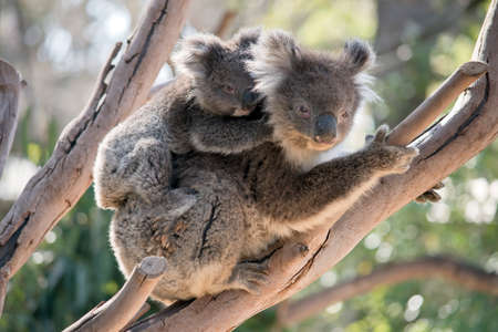 the joey koala is holding onto his mothers back