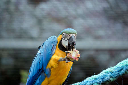 the blue and gold macaw is eat corn on the cob