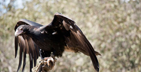the wedge tail eagle is a large brown raptor with brown eyes