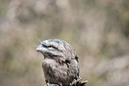 the tawny frogmouth is a grey bird with yellow eyes Stock Photo