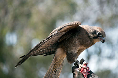 this is a close up of a brown falcon Фото со стока