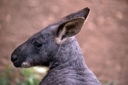 this is a close up of a wallaroo or euro Stock Photo
