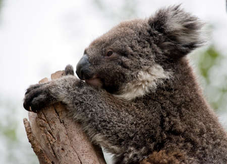 the young koala is is resting in the fork of the tree