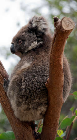 the koala is sitting in the fork of the tree
