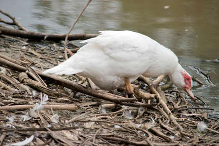 the muscovy duck is white with the red lessions