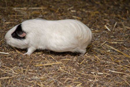 the white and black guinea is on straw