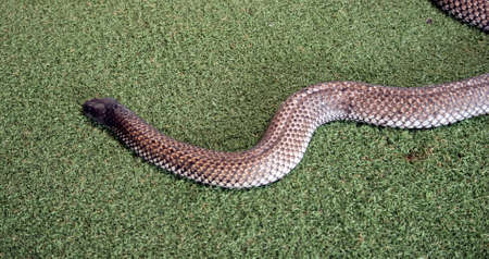 the Kangaroo Island tiger snake is a long poisonous snake found on Kangaroo Island
