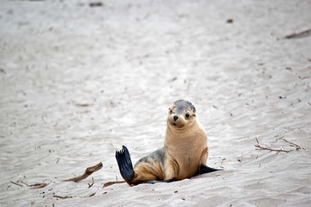 the sea lion pup is grey and white with black eyes and black flippers Stock fotó