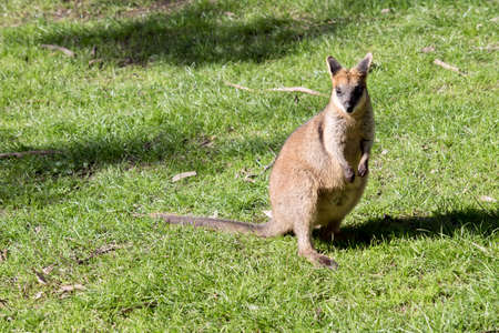 the swamp wallaby is brown, grey and white with a black nose