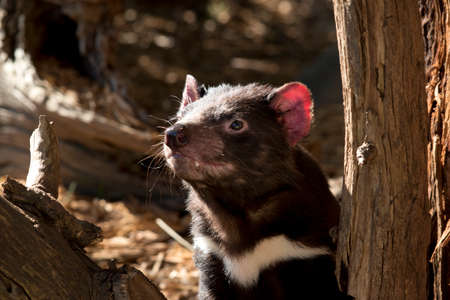 the Tasmanian devil is a black and white marsupial with sharp teeth