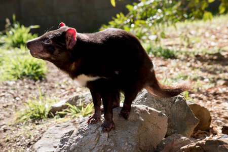the Tasmanian devil is standing on a rock sniffing the air