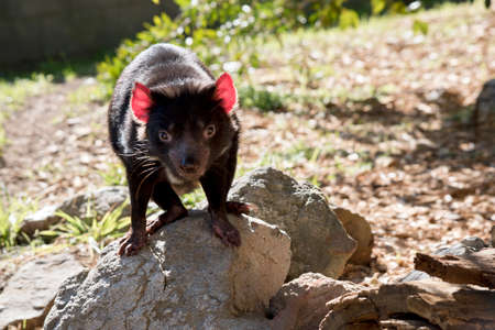 the Tasmanian devil is standing on a rock