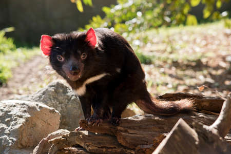the Tasmanian devil is standing on a rock looking for food Stock Photo