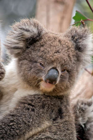 the young koala is up a tree