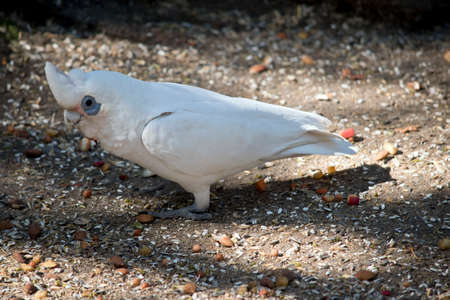 the little corella is white bird with the blue around its eyes Stockfoto