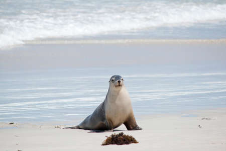 the sea lion is walking onto the beach