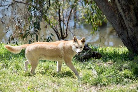 the golden dingo is dangerous dog