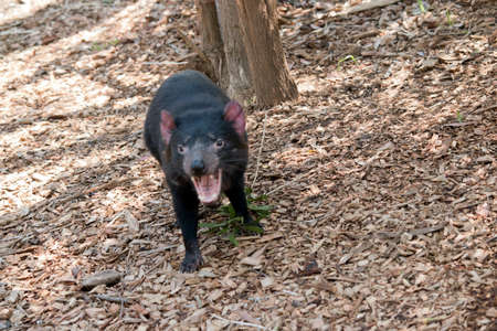 the Tasmanian devil is a world's largest surviving carnivorous marsupiall, it has a black body with pink on its ears 스톡 콘텐츠