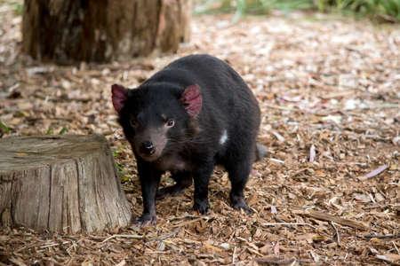 the Tasmanian devil is a vicious black marsupial that walks on 4 legs