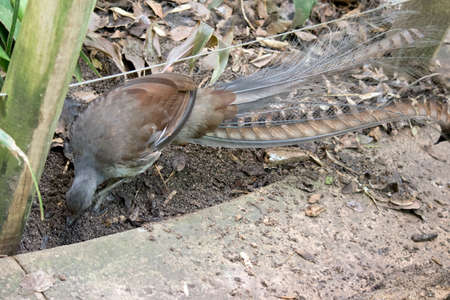 the lyre bird has unusal tail feathers
