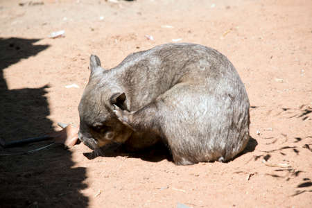 the wombat is grey and solidly built and walks on four legs