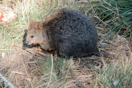 the quokka is eating carrots that tourist feed them
