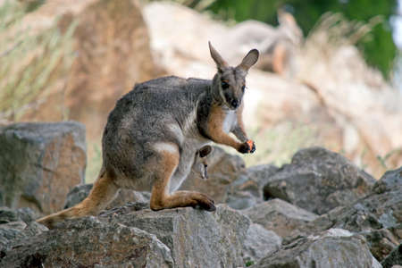 the yellow footed rock wallaby is standing on a rock eating while eating a carrot