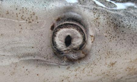 bull shark: Close up of Bull shark eye Carcharhinus leucas
