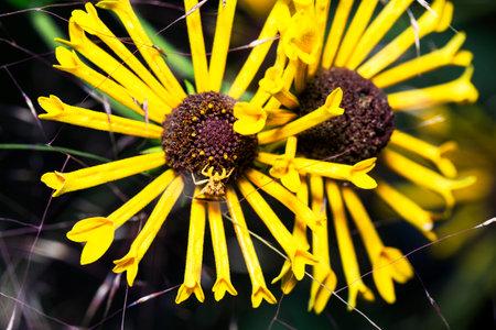 Ambush bug sitting on a sunflower awaiting prey