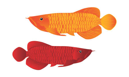 Arowana dragon fish Vector