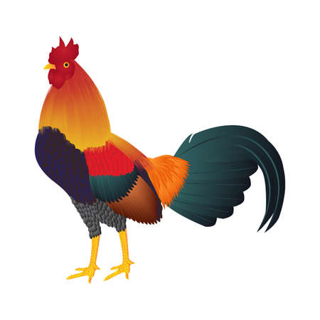 fighting cock on white background Stock Photo
