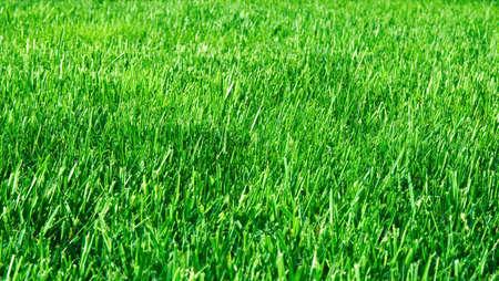 grasses: The green grasses